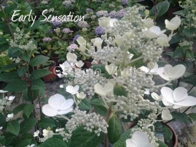 hydrangea_paniculata_early_sensation1.jpg