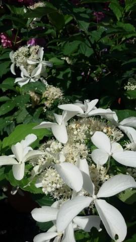 hydrangea_paniculata_great_star_1_small.jpg