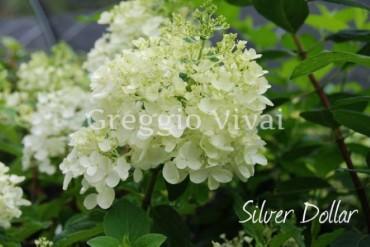 hydrangea_paniculata_silver_dollar.jpg