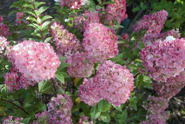 hydrangea_paniculata_sundae_fraise1.jpg