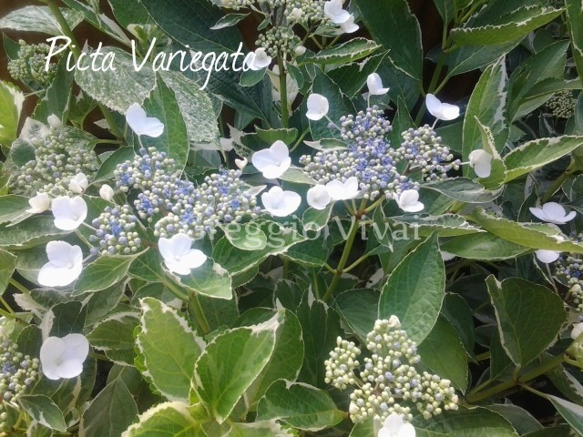 hydrangea_picta_variegata.jpg