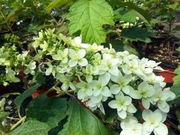 hydrangea_quercifolia_snowflake.jpg