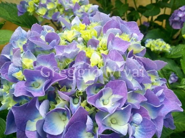 hydrangea_renate_blue.jpg