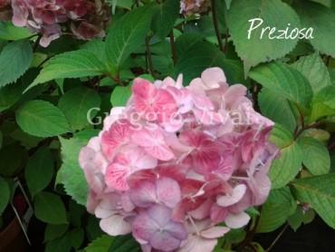 hydrangea_serrata_preziosa1.jpg