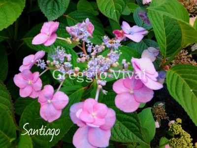 hydrangea_serrata_santiago2.jpg