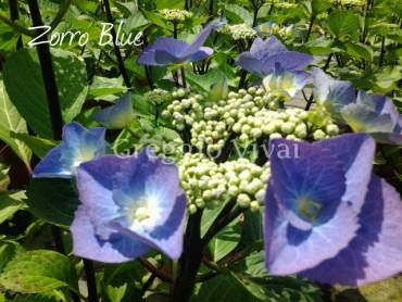 hydrangea_zorro_blue.jpg