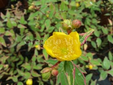 hypericum_tricolor1.jpg