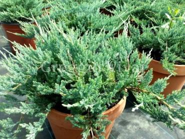 juniperus_blue_chip.jpg