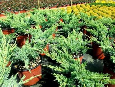 juniperus_blue_swede.jpg
