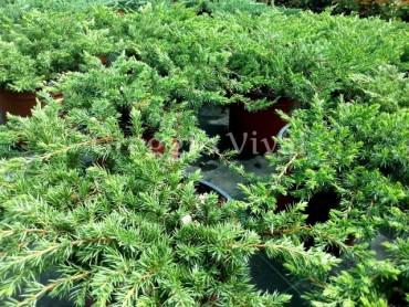 juniperus_conferta_schlager.jpg