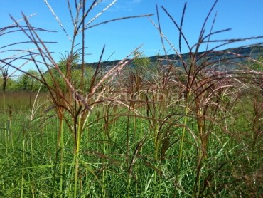 miscanthus_roter_pfeil.jpg