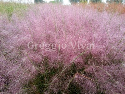muhlenbergia_capillaris.jpg