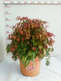 nandina_fire_power_ctl_7_5.jpg