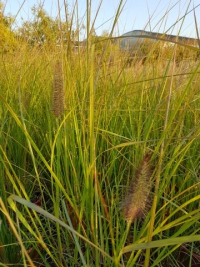 pennisetum-herbstzauber-vaso-24-autumn.jpg