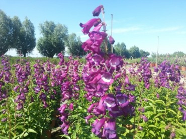 penstemon_purple_passion.jpg