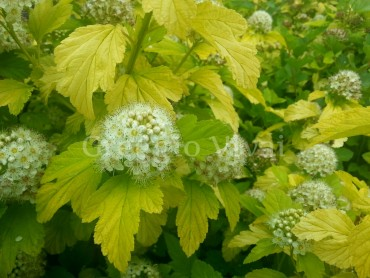 physocarpus_angel_gold_1.jpg