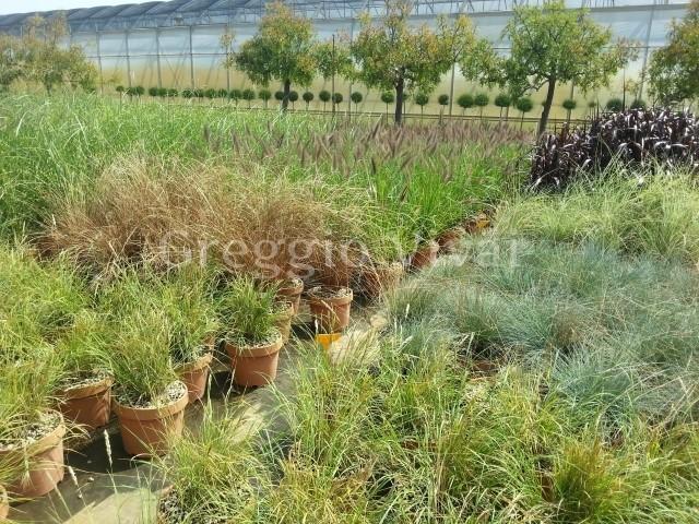 Graminacee ornamentali produzione e vendit greggio vivai for Piante graminacee ornamentali