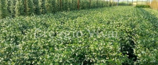 rhyncospermum_jasminoides_in_fiore.jpg