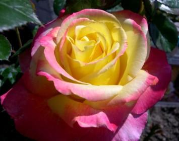 rosa-meilland-pullman-o-express-produzione-piante.jpg