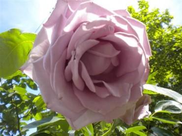 rosa_classica_lilla.jpg