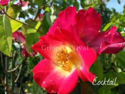 rosa_rampicante_meilland_cocktail.jpg