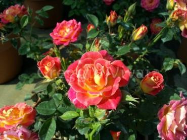 rosa_sunflor_tiddly_winks.jpg