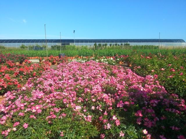 rose_panorama.jpg
