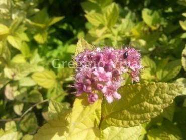 spiraea_japonica_golden_princess.jpg