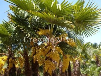 trachycarpus_fortunei.jpg